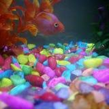 Rote Blutpapageienfische lizenzfreie stockfotografie