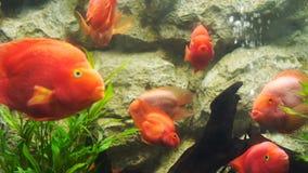 Rote Blutpapageienfische im Wasser