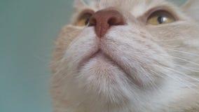 Rote britische shorthair Katze Stockbild