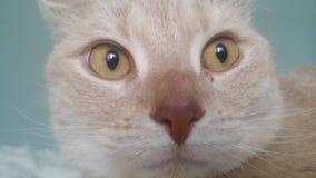 Rote britische shorthair Katze Lizenzfreies Stockbild