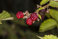 Rote Brombeeren, die in der Natur wachsen Lizenzfreie Stockfotografie