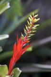 Rote Bromelie auf dunklem Waldhintergrund Lizenzfreies Stockbild