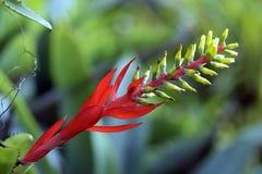 Rote Bromelie auf dunklem Waldhintergrund Stockbild