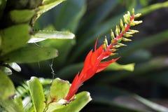 Rote Bromelie auf dunklem Waldhintergrund Lizenzfreie Stockfotografie