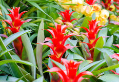 Rote Bromelierosettenform blüht in der Blüte im Frühjahr Stockbild