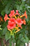 Rote Campsis-Blume Stockbilder