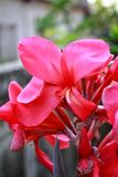 Rote canna Blume Lizenzfreie Stockfotografie