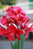 Rote canna Blume Lizenzfreies Stockbild