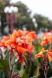 Rote Cannes-Blume auf der Lampe und dem Baumhintergrund Lizenzfreies Stockbild