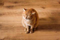Rote Cat Sitting On Laminate Floor lizenzfreie stockbilder