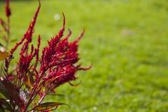 Rote Celosiablume Stockfotografie