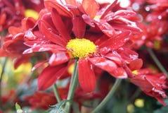 Rote Chrysantheme lizenzfreies stockfoto