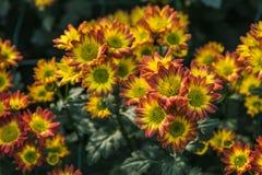 Rote Chrysantheme Lizenzfreie Stockfotos