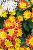 Rote Chrysantheme Stockfotos