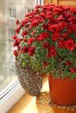 Rote Chrysantheme auf einem Balkon Stockbild