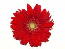 Rote Chrysantheme auf Weiß Stockfotos