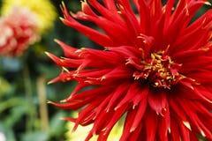 Rote Chrysantheme mit dem Blütenstaub Stockfoto