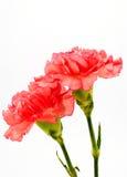 Rote Chrysanthemeblumen getrennt auf Weiß Stockfotos