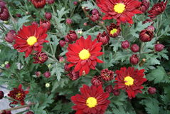 Rote Chrysanthemen lizenzfreie stockfotografie