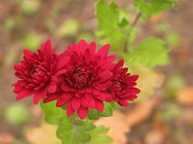Rote Chrysanthemen stockfoto