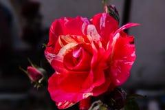 Rote Co dominierende und weiße Rosenblume Stockfotografie