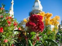 Rote cockscomb Blumen Stockbild
