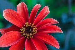 Rote Dahlia Flower, gelbe Florets stockfoto