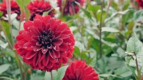 Rote Dahlie im Garten Stockbild