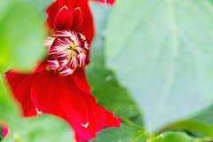 Rote Dahlie schaut heraus von hinten die grünen Blätter Stockfoto