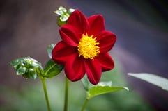Rote Dahlieblume stockbild