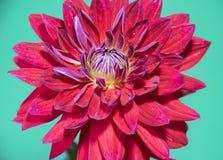 Rote Dahlieblume Nahaufnahme, lokalisiert auf Grün Stockbild