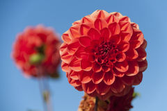 Rote Dahlien Stockfoto