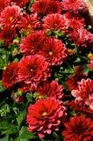 Rote Dahlien Stockbilder