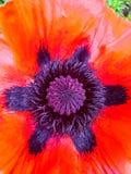 Rote Dahlien der Blume, lokalisiert auf Weiß lizenzfreies stockfoto