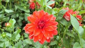 Rote Dahlienblume auf einem Hintergrund von grünen Blättern Stockbild