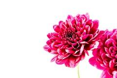 Rote Dahlienblumen der Nahaufnahme Lizenzfreie Stockbilder