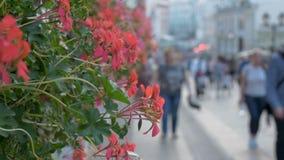 Rote dekorative Blumen schmücken das Sommercafé stock video footage