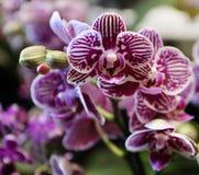 Rote der Phalaenopsisorchidee purpurrote und weiße Blüten Lizenzfreies Stockbild