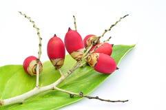 Rote Dichtungswachspalme trägt auf grünem Blatt Früchte Stockfotos