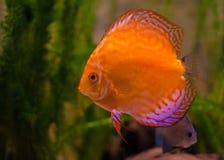 Rote Diskus-Fische Lizenzfreie Stockfotos