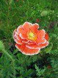 Rote doppelte Mohnblumeblume mit weißem Rand Stockbilder