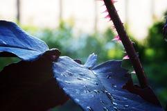 Rote Dornen auf einer Rose Lizenzfreie Stockfotos