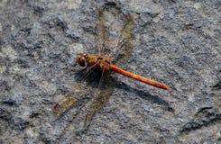 Rote Drache-Fliege Stockfotos