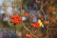 Rote Eberesche auf einem Hintergrund des gelben Laubs Herbst Lizenzfreie Stockfotos