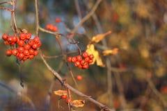 Rote Eberesche auf einem Hintergrund des gelben Laubs Herbst Stockbild