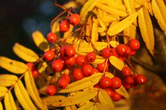 Rote Eberesche auf einem Hintergrund des gelben Laubs Herbst Stockfotografie