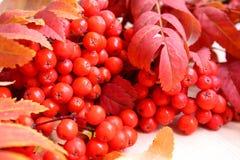 Rote Eberesche des Hintergrundes mit Rot verlässt im Herbst lizenzfreies stockfoto