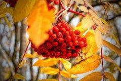 Rote Eberesche im Herbst stockfoto
