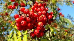 Rote Eberesche mit grünen Blättern, Nahaufnahme Stockfotografie