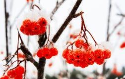 Rote Eberesche und der erste Schneewinteranfang Lizenzfreies Stockbild